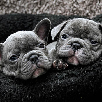 Home - Blue Frenchies UK